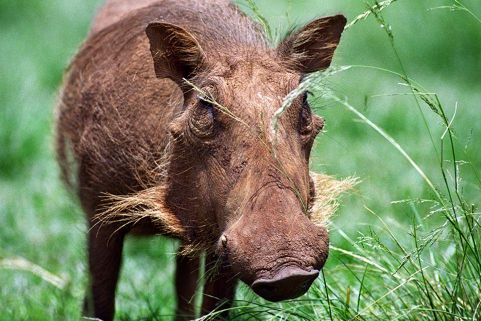 Tierlexikon: Warzenschwein