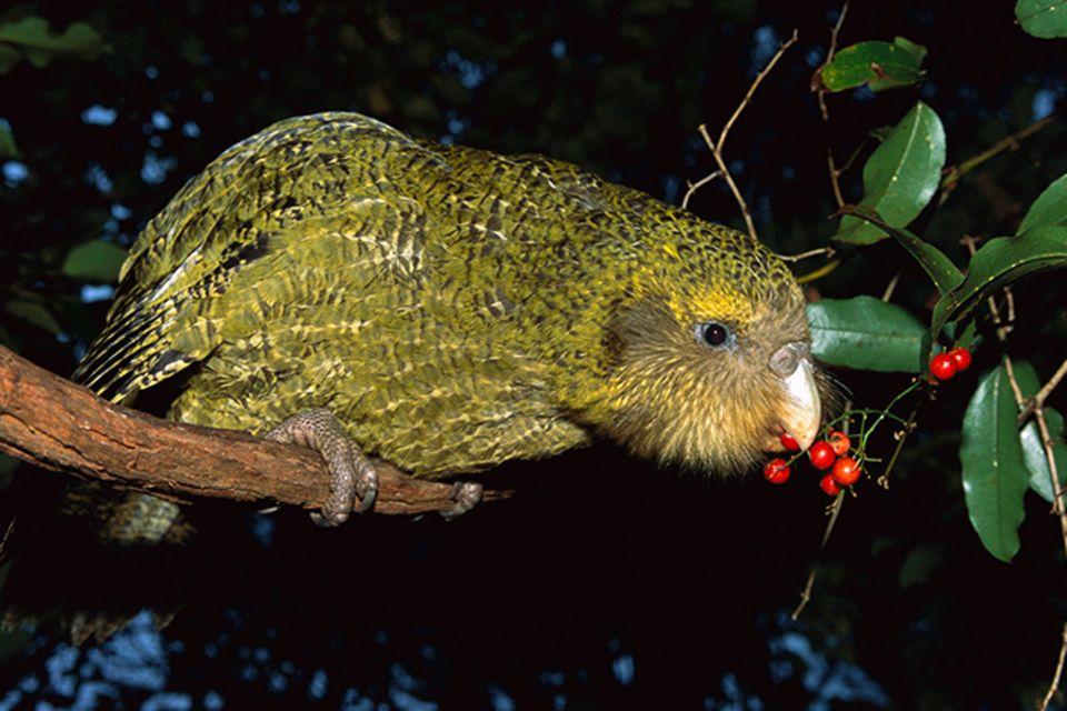 Tierlexikon: Kakapos