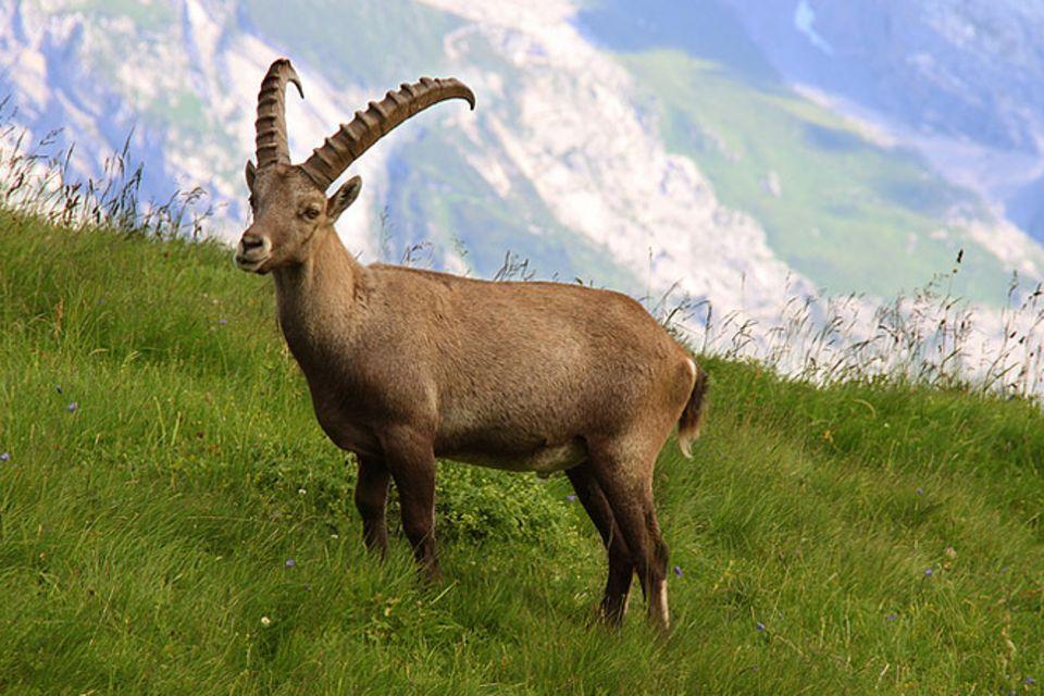 Tierlexikon: Alpensteinbock