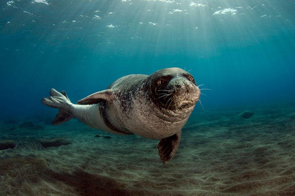 Tierlexikon: Mittelmeer-Mönchsrobbe