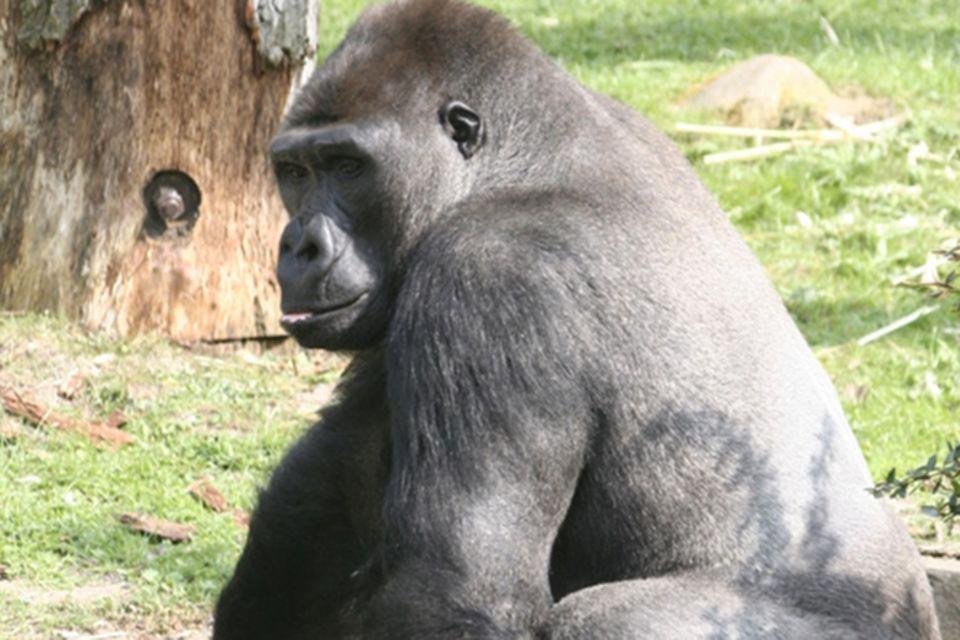 Tierlexikon: Westlicher Flachland-Gorilla