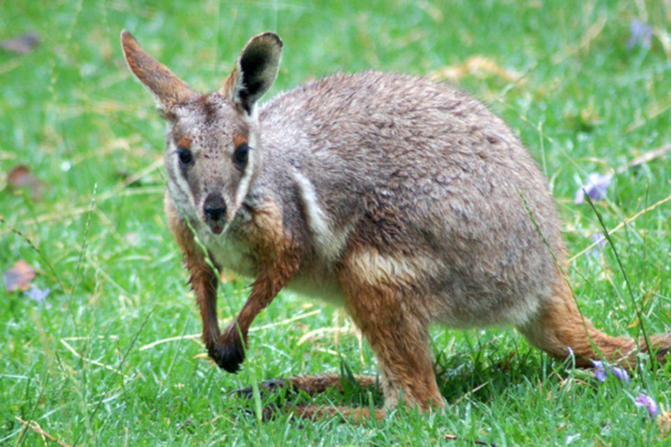 Tierlexikon: Gelbfuß-Felskänguru