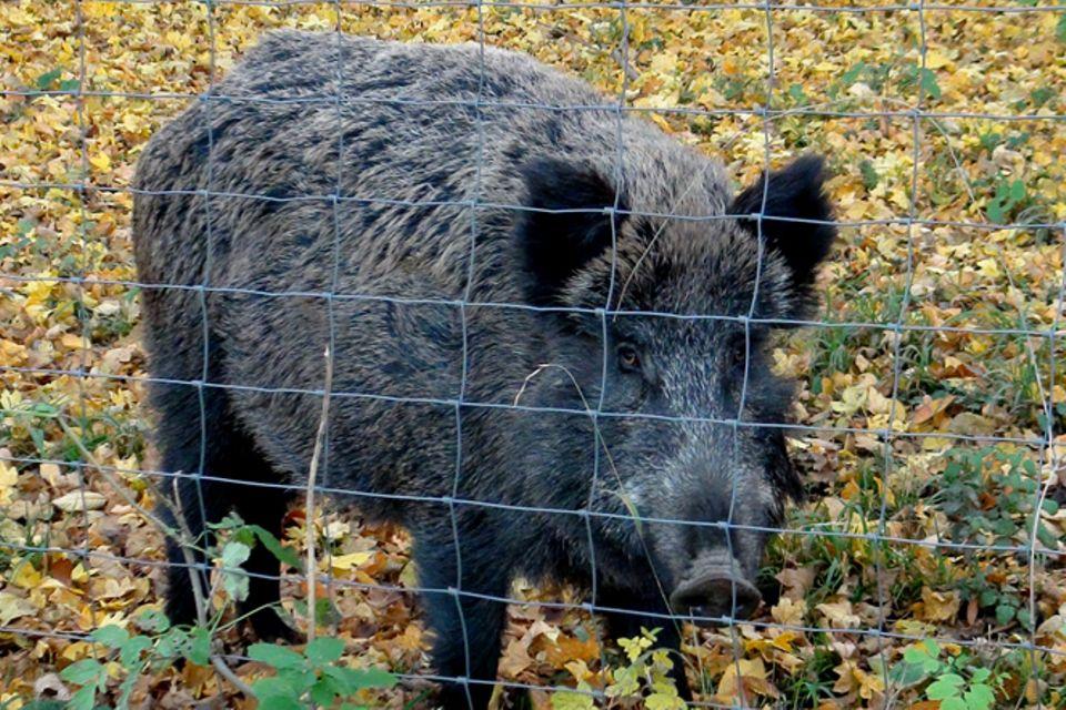Tierlexikon: Wildschwein
