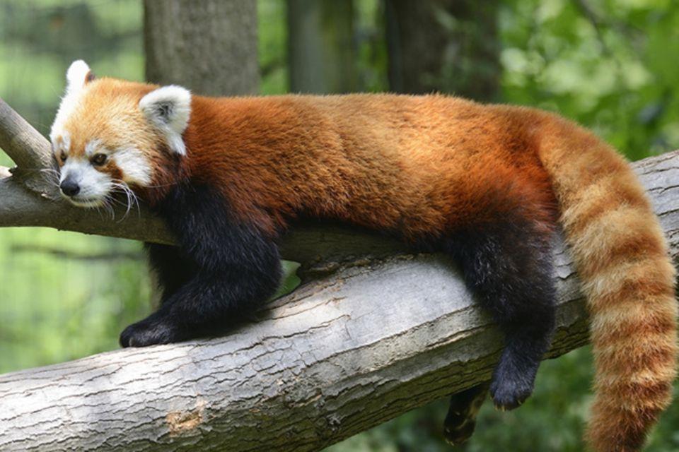 Tierlexikon: Kleine Pandas