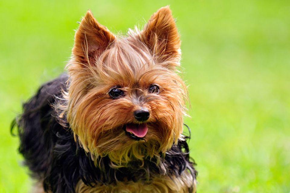 Tierlexikon: Yorkshire Terrier