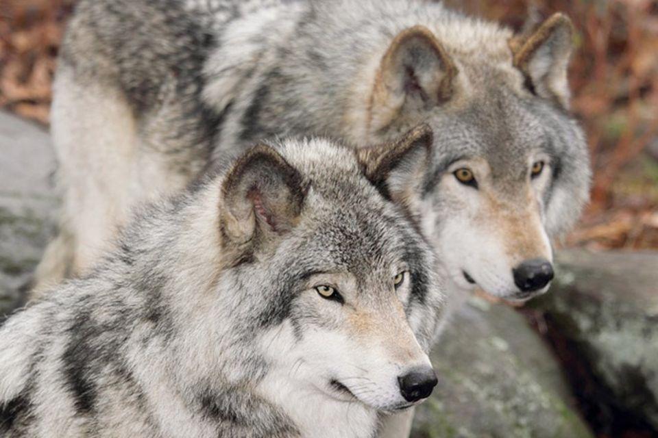 Tierlexikon: Wolf