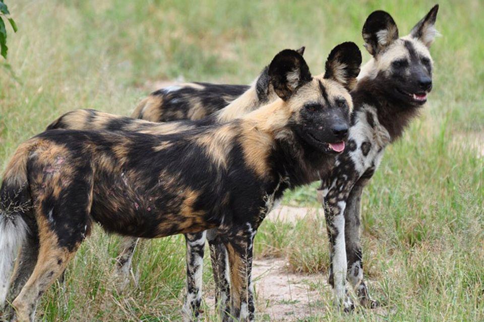 Tierlexikon: Afrikanischer Wildhund