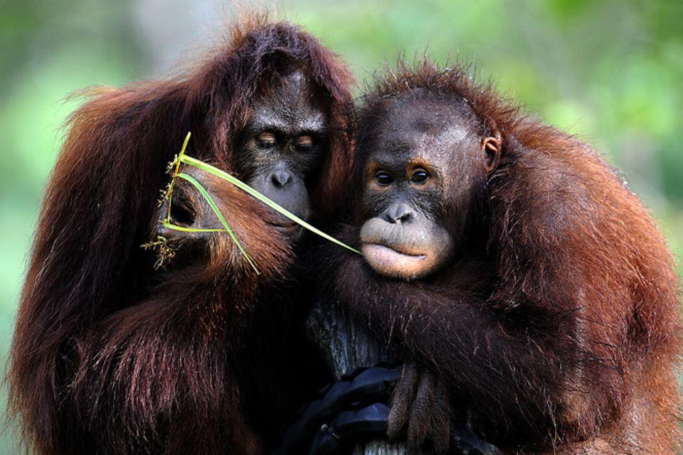 Tierlexikon: Orang-Utan