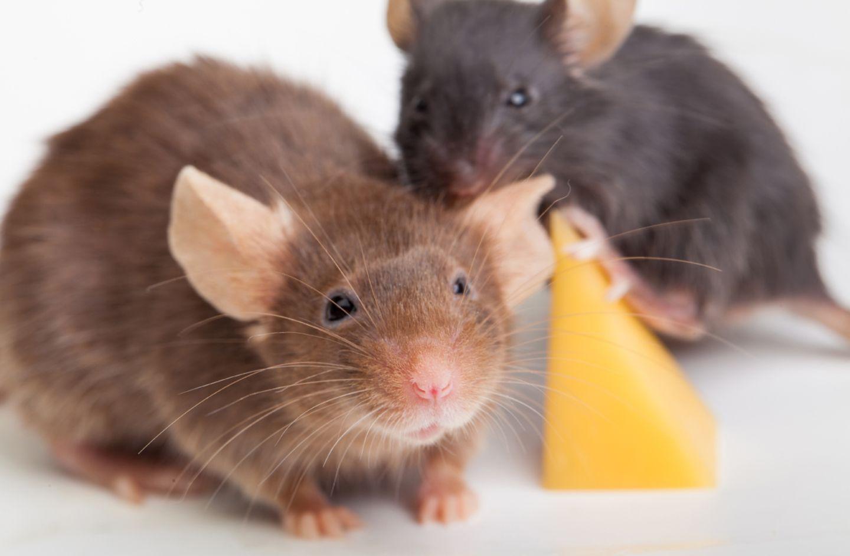 Redewendung: Das ist doch zum Mäusemelken!