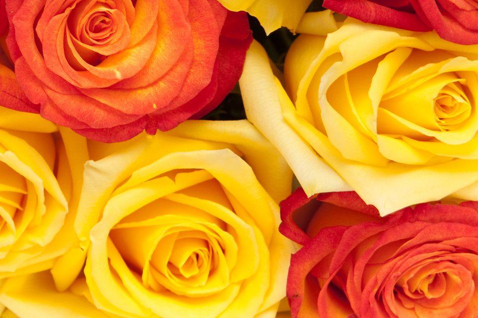 Redewendung: Wie auf Rosen gebettet