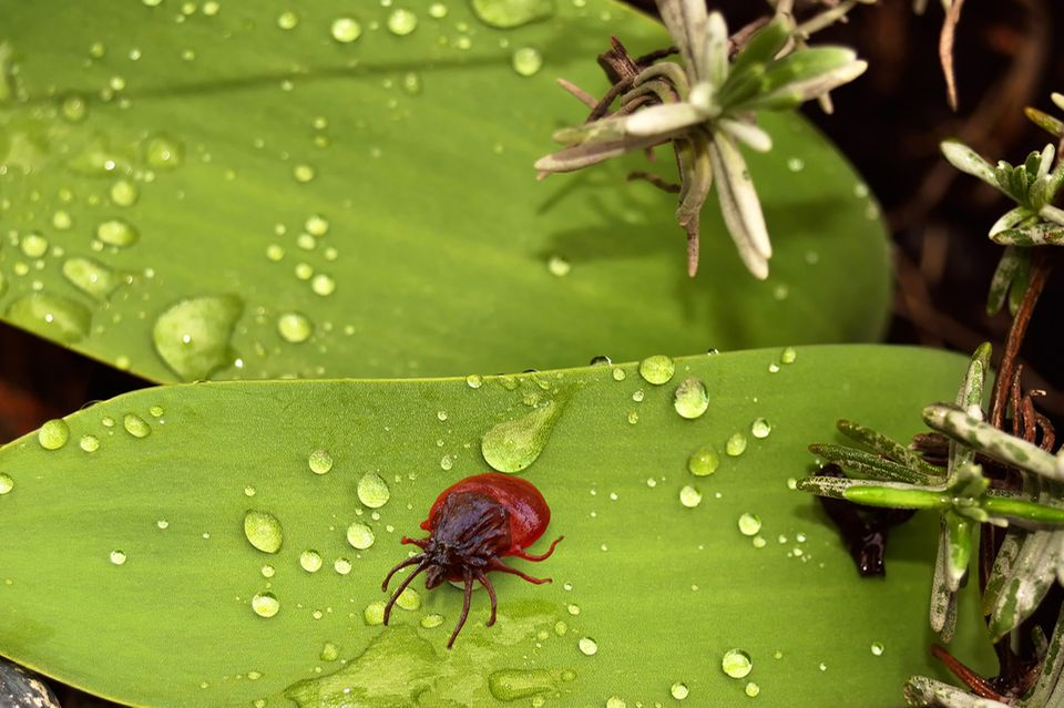 Insekten: Zecken