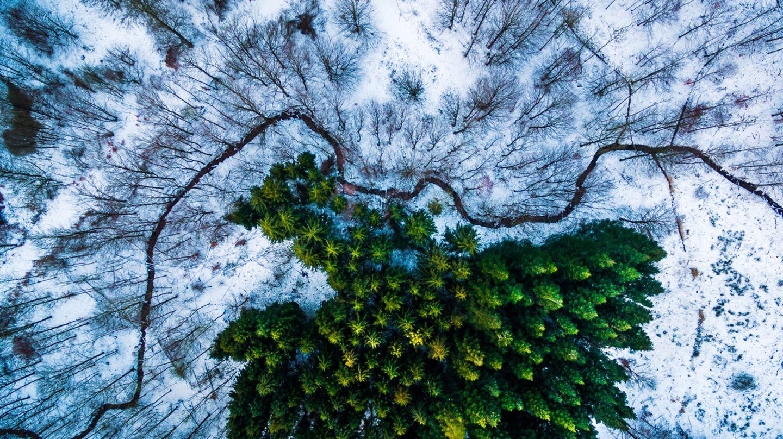 Kiefernwald im Schnee/Dänemark
