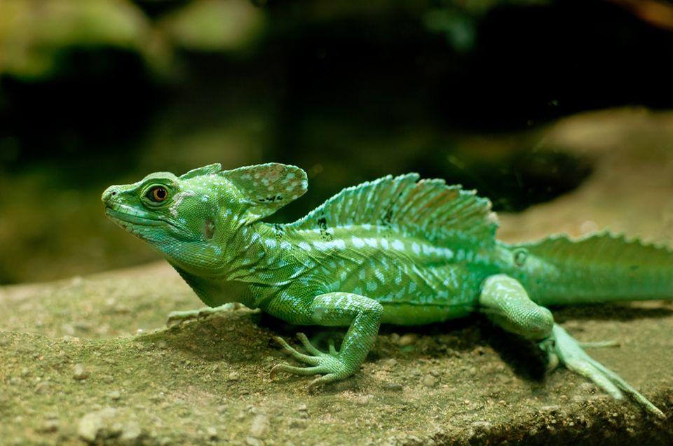 Fabelwesen: Der Grüne Basilisk kann über 20 Meter auf dem Wasser laufen