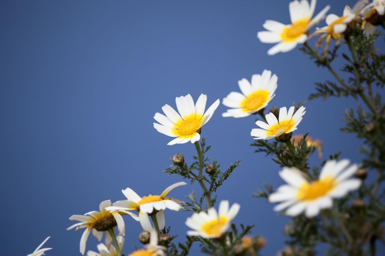 Redewendung: Kamille gilt als Heilpflanze
