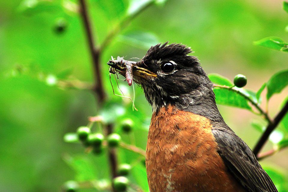 Englische Redewendung: Ein Vogel mit Regenwurm im Schnabel