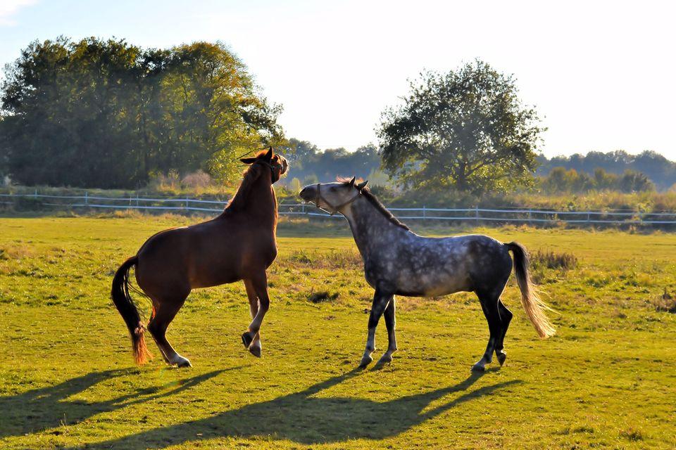 Redewendung: Pferde spielen auf einer Koppel