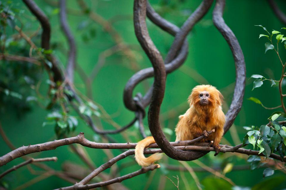 """Redewendung: Ob dies wohl ein Maulaffe ist...? Nein - """"Maulaffen"""" sind nämlich gar keine Affenart"""