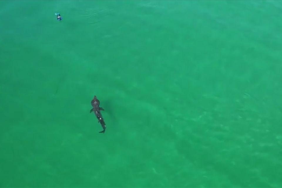Riesenhai vor Schottland