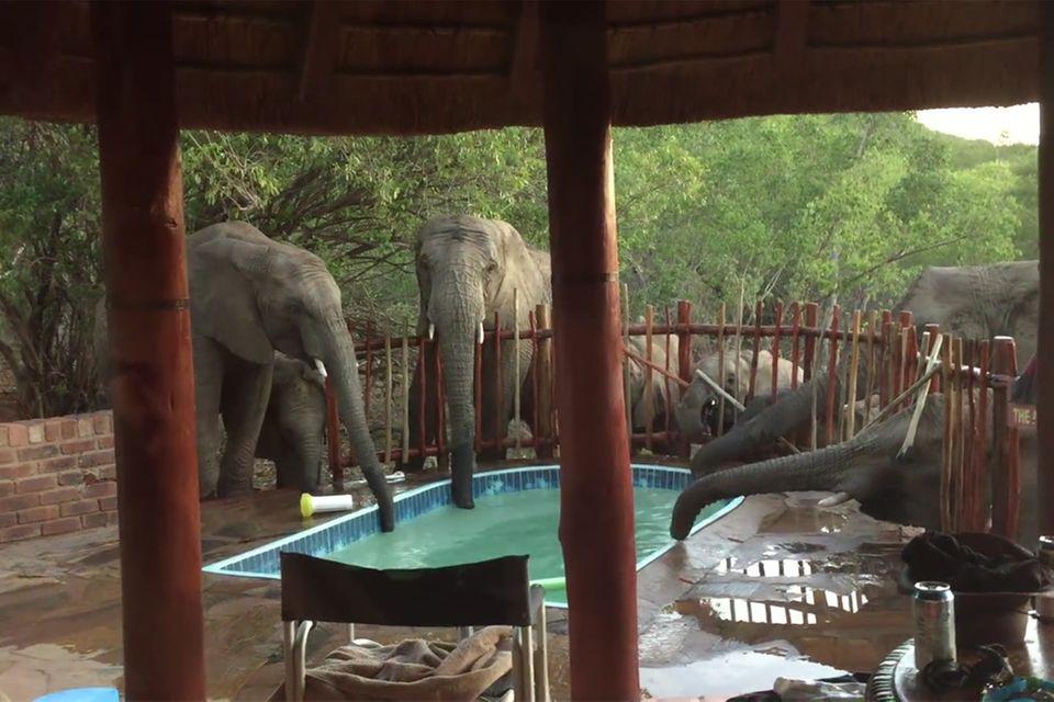 Elefanten trinken am Pool in Südafrika