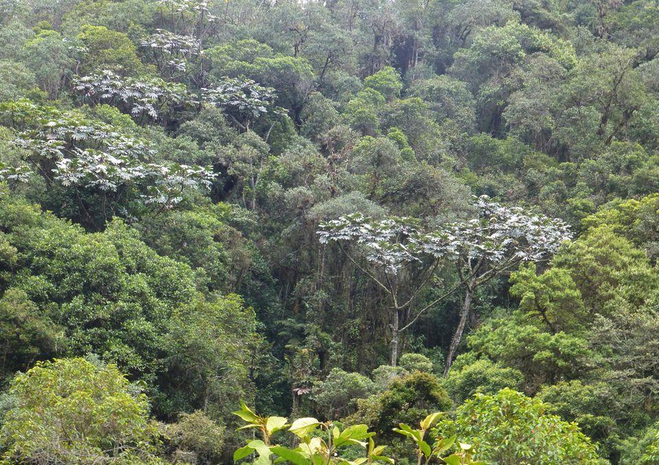 Ecuador: Der Guarumbo, eine für die Region typische Baumart, ist aufgrund seiner auffälligen, silbrigen Laubblätter schon aus der Ferne zu erkennen