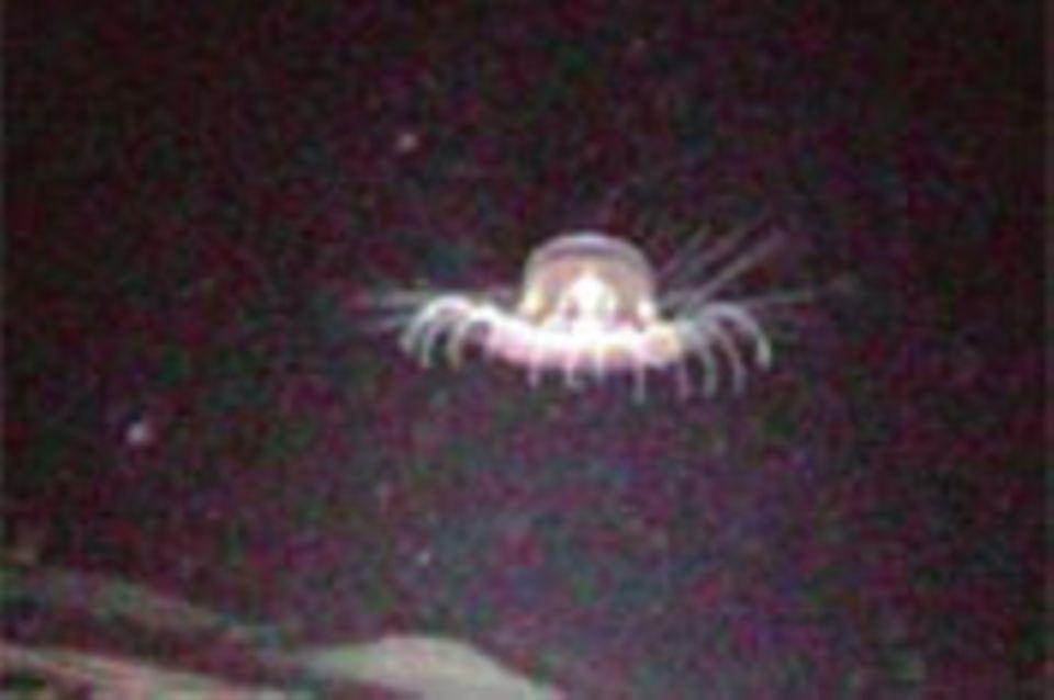Meeresbiologie: Skurrile Tiefseekreatur wiederentdeckt