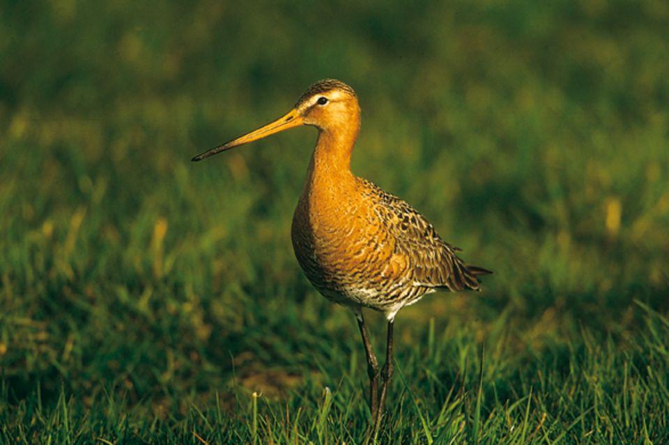 Zugvögel: Der Bestand der Uferschnepfe ist durch die Vogeljagd gefährdet