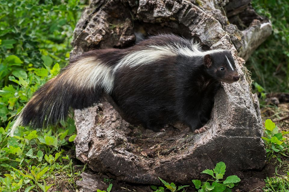 Tierwelt: Von Stinktieren und Spürnasen