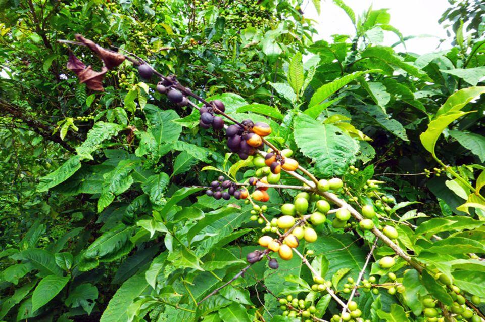 """Die schwarzen Kirschen an diesem Kaffeestrauch sind von einer Pilzkrankheit befallen (""""Coffee Cherry Disease""""), die zu Ernteverlusten führt"""