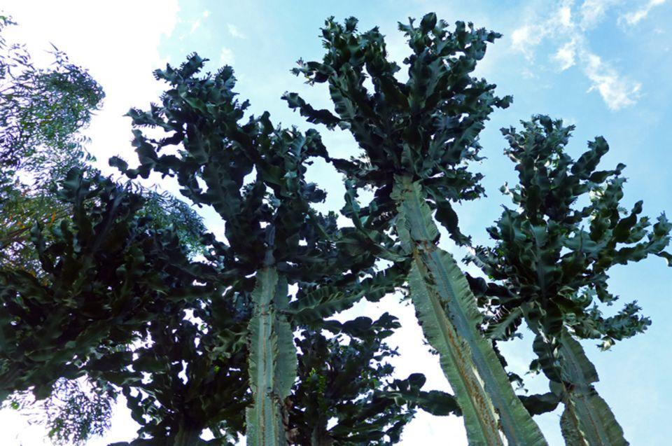 Diese endemischen, nur in Kaffa vorkommenden Euphorbien werden mehr als 20 Meter hoch