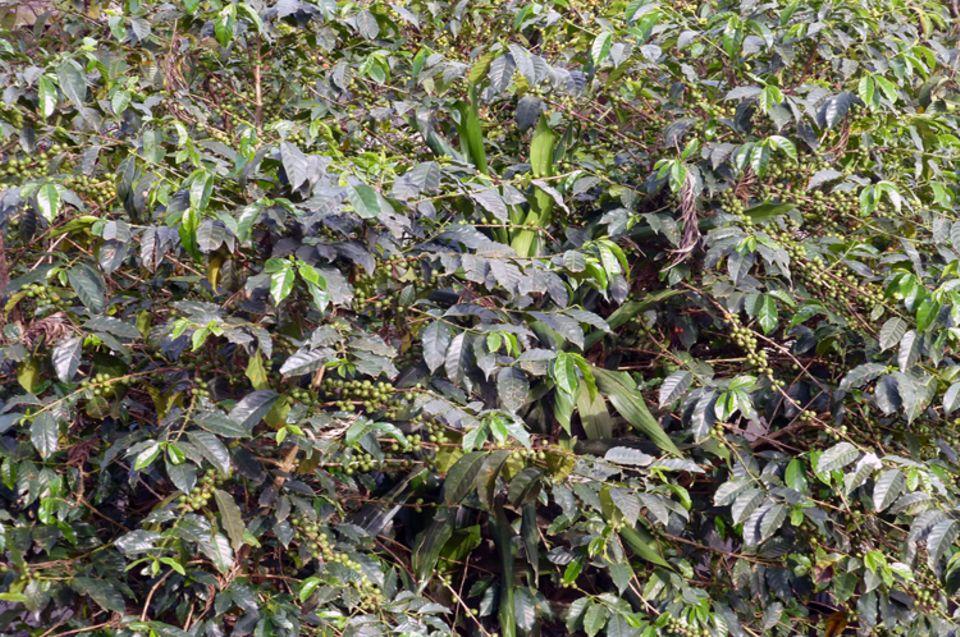 """Oktober 2013: Noch sind die Kaffeekirschen an diesem Strauch (""""Garden Coffee"""") grün, also unreif"""