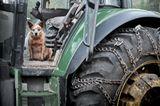Ginger, Hund