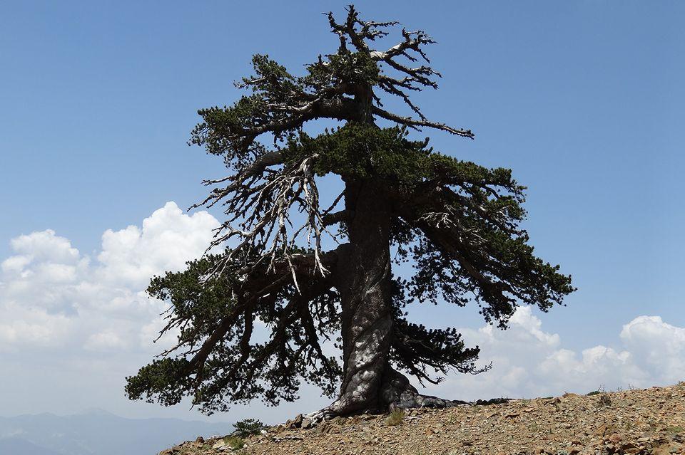 Adonis, ältester Baum Europas