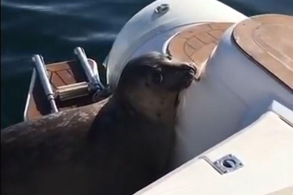 Seehund an Bord eines Motorboots