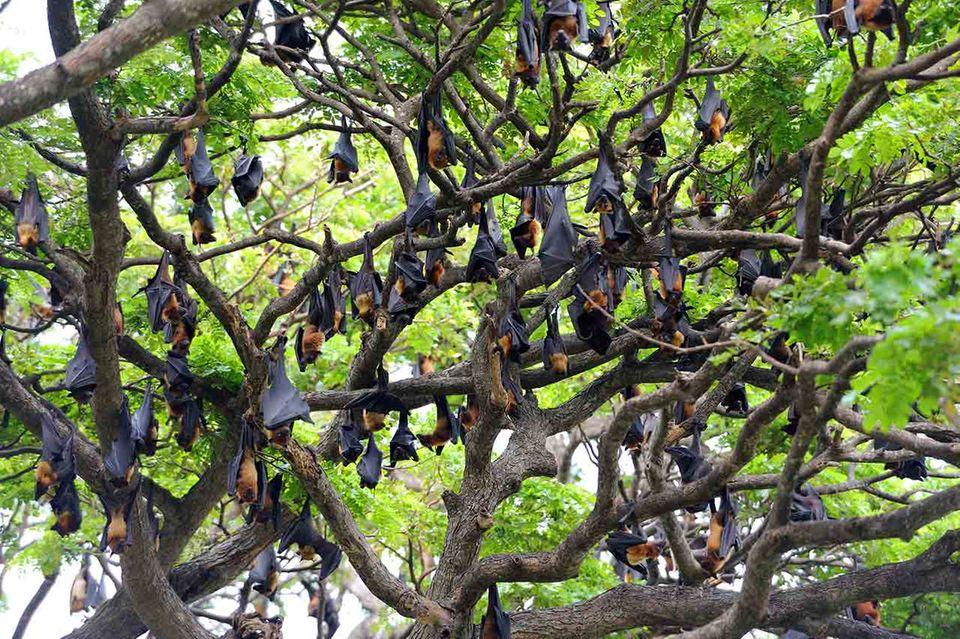 Eine Flughunde-Kolonie im Baum