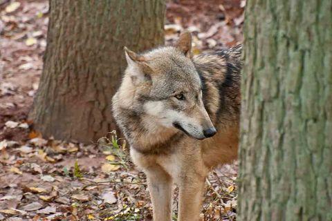 Wolf im Wald hinter einem Baumstamm