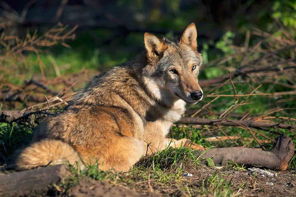 Wolf im Wald, auf dem Bogen liegend