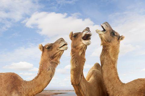 Kamele