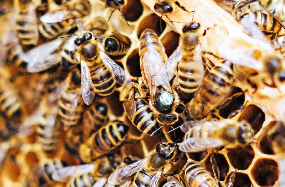 Bienen mit ihrer Bienenkönigin in einer Wabe