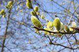 Weidenkätzchen im Frühjahr