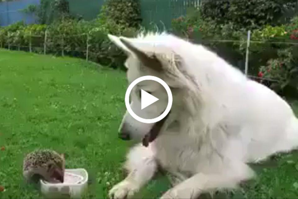 Igel und Hund auf der Wiese