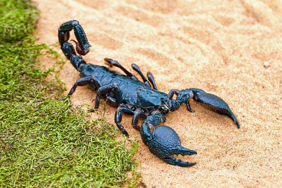 Skorpion auf Sand