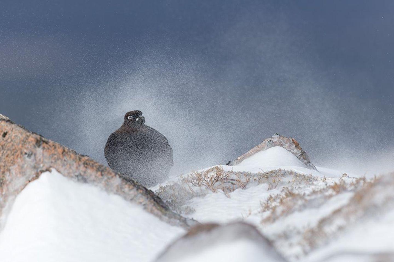 Moorschneehuhn im Schneegestöber