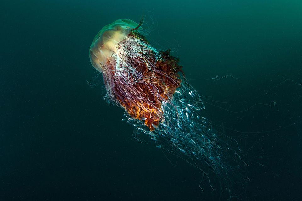 Qualle in der Nordsee