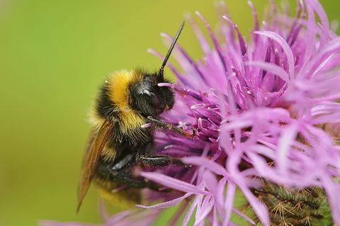 Bienensterben, Biene an einer Blüte