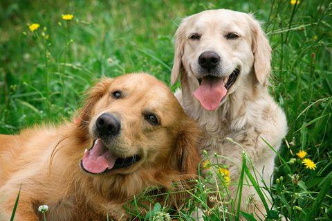 Zwei Hunde liegen gemeinsam im Gras