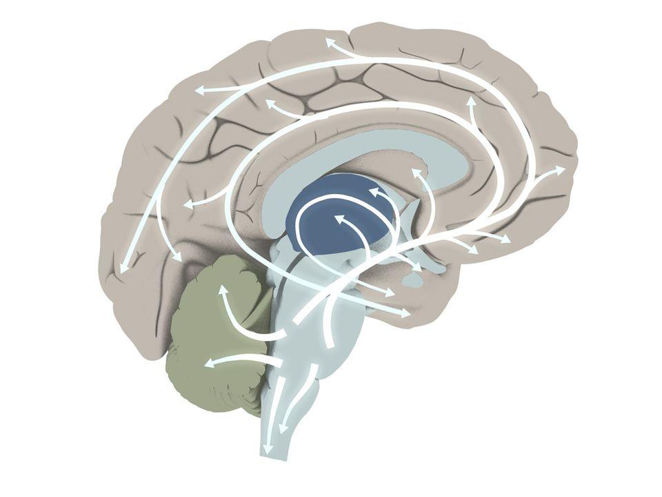 Gehirn: DER WEG DES NEUROTRANSMITTERS: Der Botenstoff Serotonin, den viele Forscher als einen entscheidenden Faktor für das Wohlbefinden ausgemacht haben, wird von speziellen Nervenzellen im Hirnstamm gebildet. Über deren Fortsätze verbreitet sich die Substanz in fast alle Bereiche des Gehirns und nimmt Einfluss auf Schlaf, Sexualität, Angstempfinden und die Stimmung eines Menschen