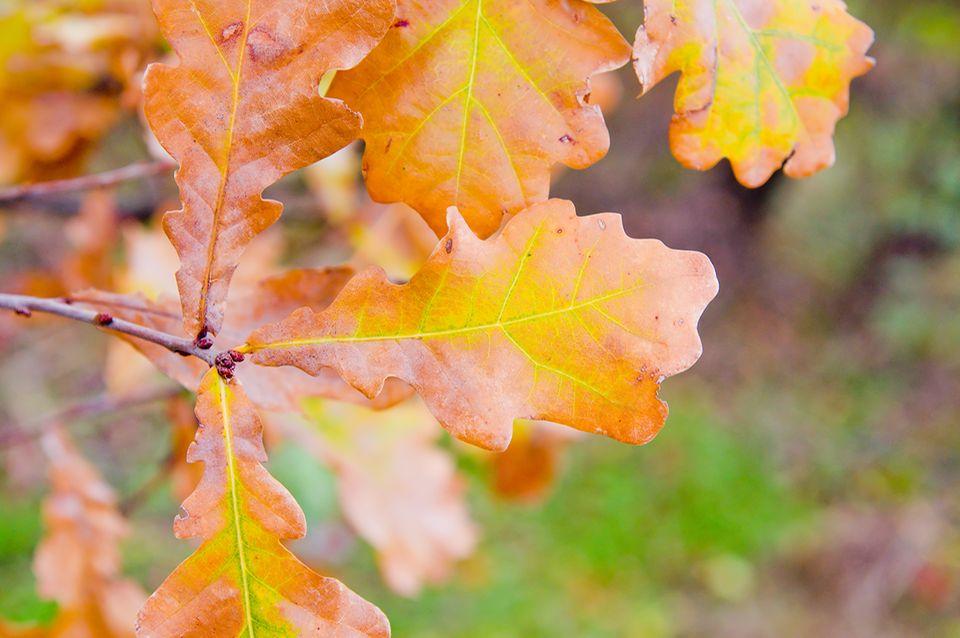 Gelbes Laub einer Eiche im Herbst