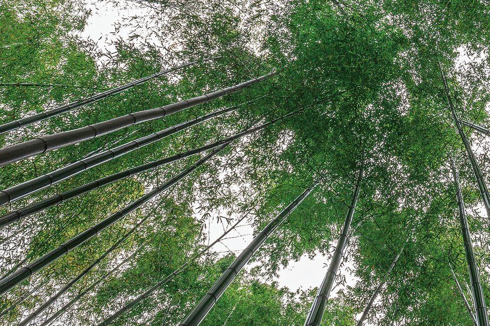 Bambuswald in der Provinz Sichuan