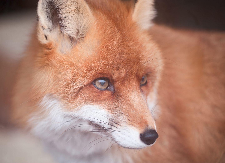 Europäischer Fuchs