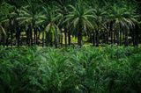 Palmölpflanzen
